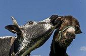 A Cow vosgienne nibbling the ear of a donkeyStosswihr