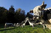 Vosges cows in the farm-inn Felsach Linthal