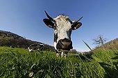 Portrait of a Cow in a meadow vosgienne Breitenbach