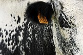 Etiquette on the ear of a cow vosgienne The Glasborn