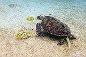 Green turtle swimming and juvenile golden trevally