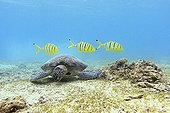 Green turtle grazing and young royal yellow jack