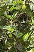 Breadfruit tree Mayotte Comoros Archipelago