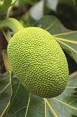 Bread fruit on the tree Mayotte Comoro Islands