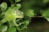 Chameleon of Mayotte in the foliage