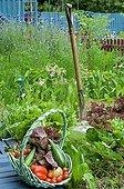 Havest of vegetables in an organic kitchen garden