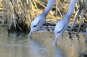 Blue cranes drinking in a pond