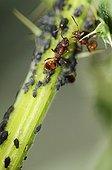 Ants farm aphids France