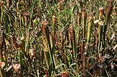Pitcher plants Big Thicket National Preserve Texas