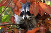 Raccoon - Montevallo Alabama