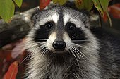 Raccoon watching on a tree Montevallo Alabama