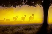 Herd of hinds at sunrise Great Britain