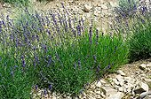 Fine lavender in bloom in a garden