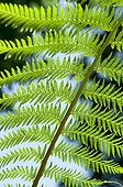 Tree fern leaf in a garden