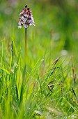 Lady Orchid in bloom Coteau du Mesnil-Soleil NR France