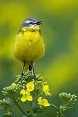 Ashy-headed Wagtail singing on a plant Turnip France