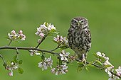 Little owl standing on a branch of a flowering apple tree