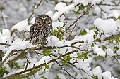 Little owl standing in a tree covered with snow