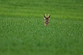 Buck deer in a field of grain Champagne France