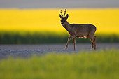 Buck deer on a country road Champagne France