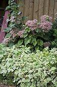 Orpin et Egopode podagraire dans un jardin