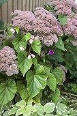 Orpin et Bégonia en fleur dans un jardin