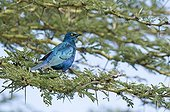 Greater Blue-eared Glossy Starling on a branch Mount Kenya