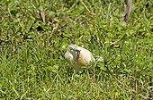 Squacco heron catching a frog Amboseli NP Kenya