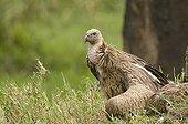Jeune Vautour africain au sol Mont Kenya