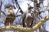 Aigle des Steppes et Vautour africain sur une branche Kenya