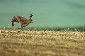 European hare running in a field Champagne France
