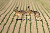 European Hares fighting Champagne France