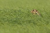 European Hare in grass Champagne France