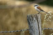 Red-backed Shrike male on a pole Champagne France