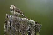 Meadow Pipit on a pole Champagne France