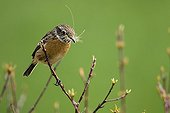 Siberian Stonechat on a branch Champagne France