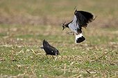 Lapwing courtship Champagne France