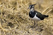Female lapwings nest Champagne France