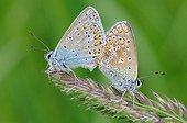 Mating of Butterflies on an ear Normandie