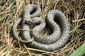 Smooth Snake winded on dry grass France