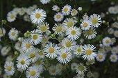 German Chamomiles in bloom France