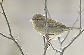 House sparrow on a branch Blanc Mesnil France
