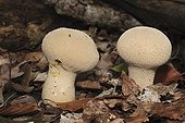 Common Puffballs in dead leaves in the woods