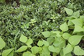 Beans invaded by purlane in an organic kitchen garden