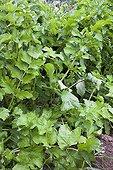 Parsnip foliage in a kitchen garden