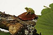 European Tree Frog on a slug