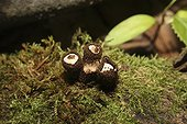Fluted Bird's Nests on Moss in the woods
