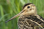 Portrait of a Great snipe Poland