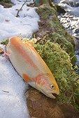Pêche à la mouche d'une truite arc-en-ciel variété jaune