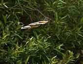 Sunbittern flying in Pantanal National Park Brazil